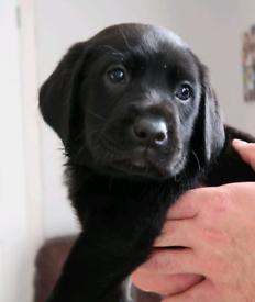 Pedigree Labrador Pup