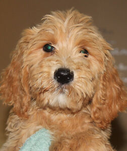 Medium Double Doodle Puppies for Sale
