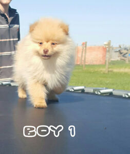 pomeranian puppies for sale in michigan ebay pomeranian adopt local dogs puppies in canada kijiji 509