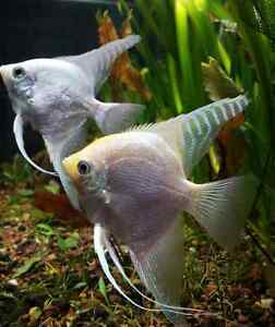 Platinum angelfish pair