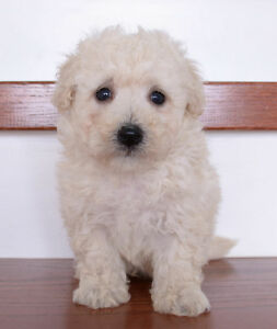 Toy Bichon-Poo Puppies Ready To Go!