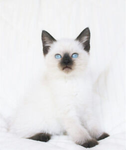 Beautiful Siamese Ragdoll Kittens for Rehoming
