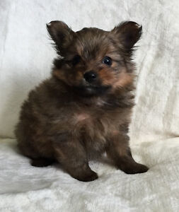 Pomeranian x Yorkshire Terrier Male Puppies