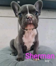 French Bulldog pedigree certificate puppies