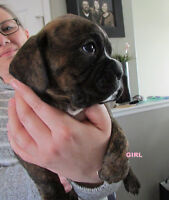 QUALITY BOXER PUPPIES