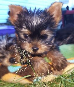 2 CKC registered Yorkshire Terrier puppies
