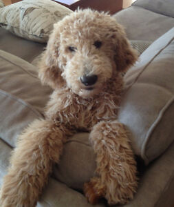 GOLDENDOODLE X STANDARD POODLE~Ready June 12 ~ Males Available