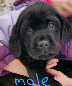 1 Male Labrador puppy.