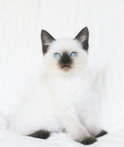 Beautiful Ragdoll/Siamese Kittens for Rehoming