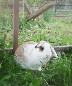 Male Holland Lop