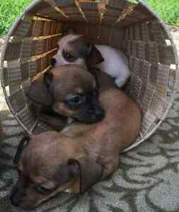 Chihuahua / Pug / Jack Russell  Puppies