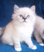 Fluffy Lynx point Mitted Ragdoll kittens