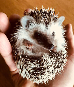 Adorable baby Pygmy Hedgehogs! Sweet babies ready now.