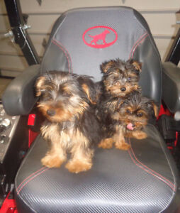Yorkshire Terrier Yorkie Puppies Male/Female
