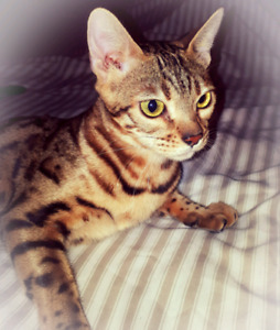 Tica Female Bengal available.