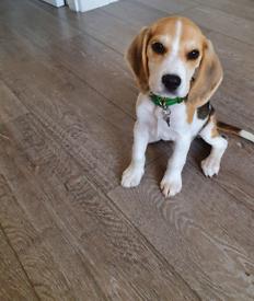 Beautiful beagle pup, Arlo 14 weeks old.