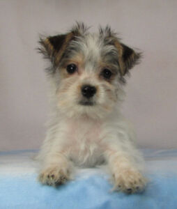 F1 Morkies **RARE PIEDS*&*CLASSIC FEMALE NOW AVAILABLE!**