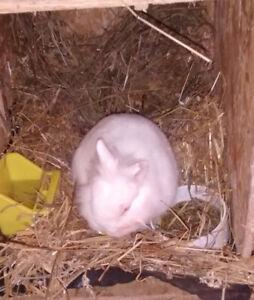 Two Dwarf Male Rabbits