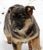 Tri-coloured and blue coated  x shepherd x aussie pup