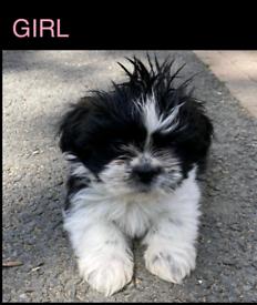 Lhasa Apso pups 1 girl left