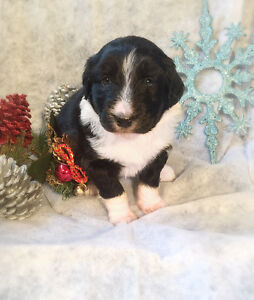 Mini aussiedoodles puppies for sale !!