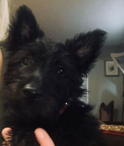 Scottish Terrier Puppies - CKC Registered
