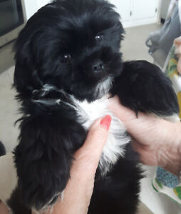 Havanese A | Kijiji in Edmonton  - Buy, Sell & Save with