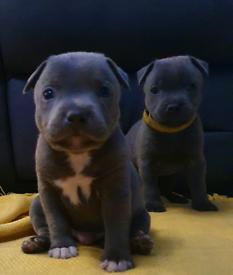 Staffordshire bull terrier puppies x 6