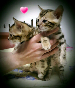 ☆☆☆SUPERBES CHATONS BENGAL☆EXOTIC BENGAL KITTENS ☆☆☆