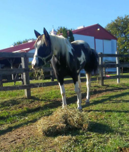 10 year old paint gelding for sale