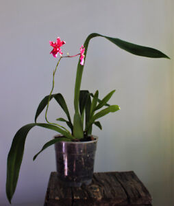 """Orchid - Oncidium Sharry Baby """"Red Fantasy"""" (Blooming Size)"""