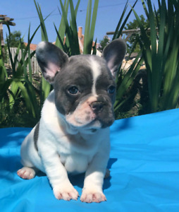 French Bulldog Puppies Blue, Blue Pied and Blue Tan