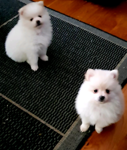 Pure pomeranian puppies