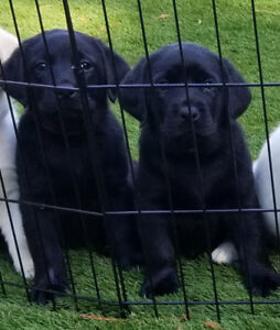 Ready to take home! English Labrador puppies!❤