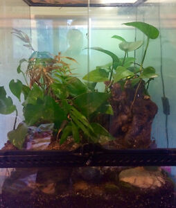 Male Crested Gecko with fully planted terrarium Gatineau Ottawa / Gatineau Area image 2