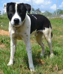 Fivel is a stunning male lab/pointer mix.