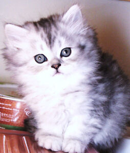 Doll Face Persian Kittens are available for adoption