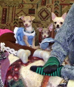 Chihuahua blue grey & lilac ( 2 girls) 1 year old (not spayed)