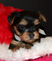 C.K.C REG'D Yorkie pups ( all puppies are sold at this time )