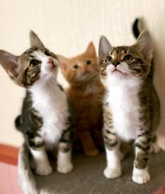 2bengal x kittens left