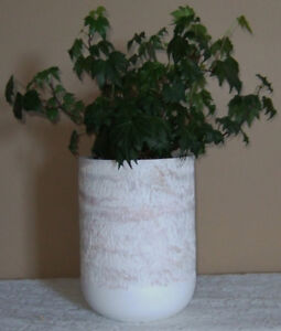 "HEALTHY HAND RAISED ""FLUFFY RUFFLES"" IVY PRESENTED IN AN ECO POT"