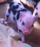 Mini Pet Pigs from a REPUTABLE breeder!