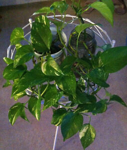 Money Plant Cuttings - price per bundle, 2 available - UPDATED