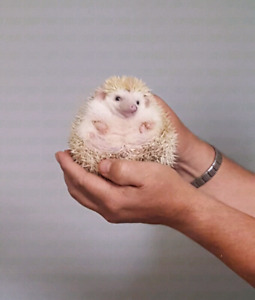 I have free hedgehogs