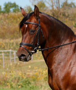 REINA Andalusian mare available for free lease/part board
