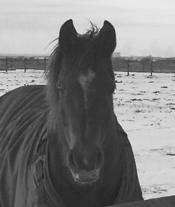 Gorgeous Morab Mare to lifetime home only