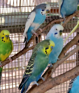 Looking to Purchase a Budgie/Cockatiel!