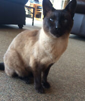 Siamese cat needing to re home