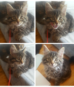 Chatons Maine Coon x