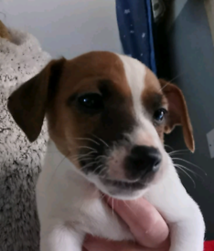 Jack Russell Puppies sold